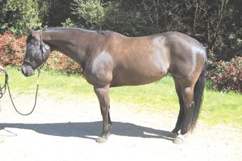 The Western Pleasure Horse, Part 1